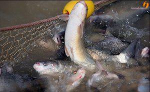 هواده پرورش ماهی ایرانی