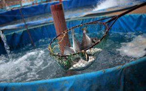 صادرات ساچوک پرورش ماهی